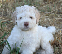 Lagotto Puppies - Champion Reg'd lineage Vet Health Certified