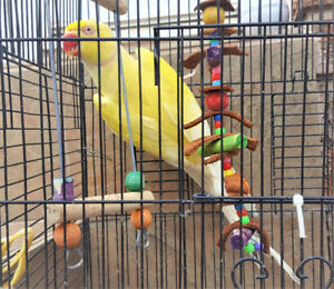 Adult Breeder Indian Ringneck