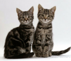 We Are Looking For A Female Tabby Kitten.