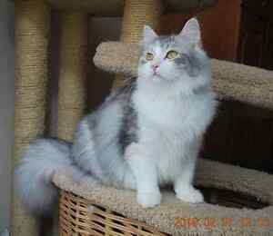 Purebred Registered Siberian Kittens - Russian imported
