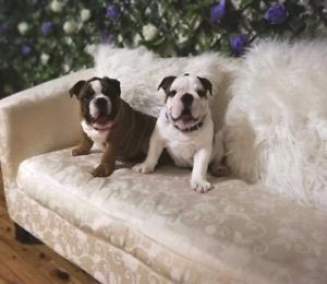 British Bulldog Pups