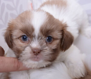 SHIHTZU PUPPIES WITH IMPERIAL MARKINGS - 4 MALES & 2 FEMALES