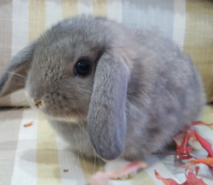 Female holland lop baby bunnies