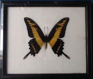 Gigante-Amarillo-a-rayas-Cola-de-Golondrina-Mariposa-Papilio-Taxidermia-Insecto