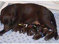 Labrador chocolate puppies