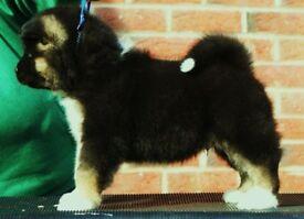 American Akita Champion breed