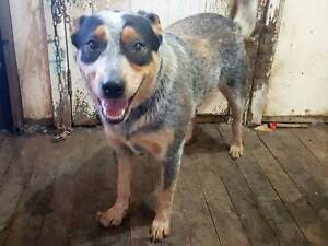 2 cattle dogs Penrith Penrith Area Preview