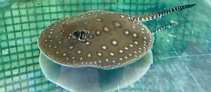 Motoro Stingray Pup female Winthrop Melville Area Preview
