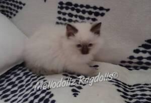 DESEXED, Pedigree Ragdoll kitten
