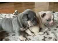 Kc French Bulldog Pups