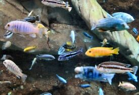 Malawi Mbuna Cichlids colourful tropical fish