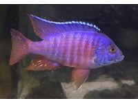 Malawi Peacock Cichlid for sale