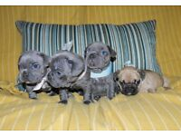 SUPERB!!! French Bulldog Puppies For Sale!!!