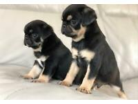 Blue , fawn and Black and Tan pug puppies