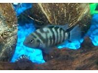 Cichlids African Malawis for sale