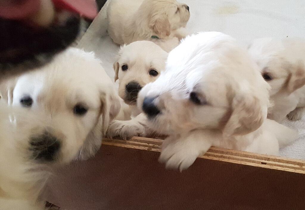 Beautiful White / Cream Golden Retriever Puppies ( 3 Boy's Remaining )