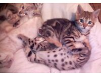 Home reared Beautiful Baby Bengals. Blue eyed Snow, silver/black, gold/coffee, spots and marbles