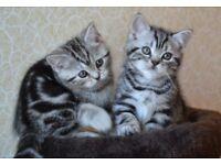 Tabbies kittens