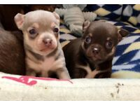 Chihuahua Boy Available