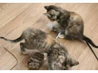 Multicolored girl kitten