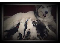 9 beautiful Siberian Husky pups for sale