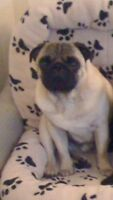 6 year old Fawn pug (part of the Irish kennel club)