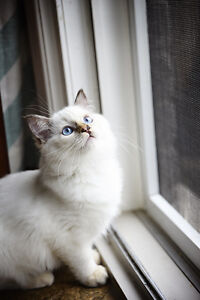 PUREBRED RAGDOLL KITTENS - 2 Females have shots and are spayed!