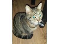 Missing female tabby off Chatham hill