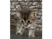Kitten Tabby Ragdoll Cross female