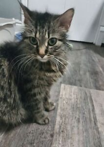 "Adult Female Cat - Domestic Medium Hair: ""Helena"""