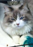 "Adult Female Cat - Domestic Long Hair-gray: ""Missy"""