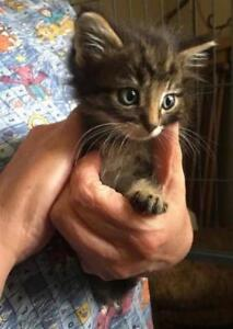 """Young Male Cat - Domestic Medium Hair-Maine Coon: """"Mickey"""""""