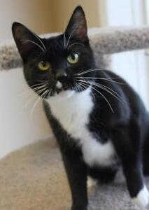 "Adult Female Cat - Domestic Short Hair-Tuxedo: ""Kia"""