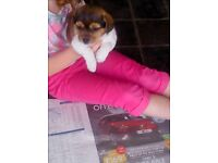 1 Jack Russell X Lhaso Apso pup, female , 8 weeks old