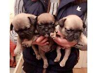 French Bull Dog puppys