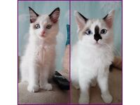 Ragdoll kittens Essex