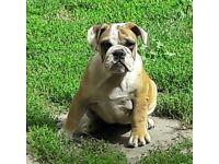 amazing pure english bulldog girls puppies
