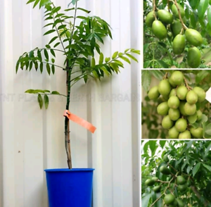 Hog Plum AKA Ambarella June Plum Spondias Dulcis Fruit Tree Plant