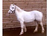 Super safe 11hh first pony for sale