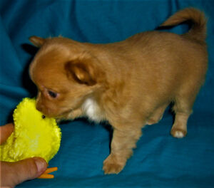*****GORGEOUS CHIHUAHUA PUPPIES!! ONLY 2 GIRLS LEFT!*********