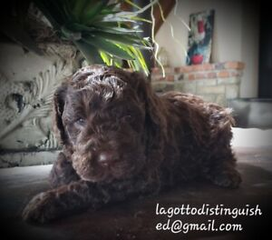 Lagotto Romagnolo Puppies now accepting applications.