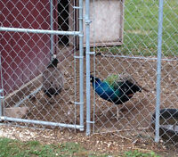 Pair of Peacocks (Peacock and Peahen) $150.00