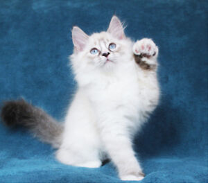 Lynx Mitted Ragdoll Kitten for Adoption - One Girl Available