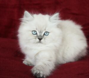 Blue Eyed PERSIAN HIMALAYAN Male Kittens