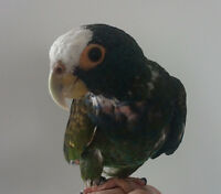 White-capped Pionus (tame, friendly, 15 yrs old), cage/toys/food