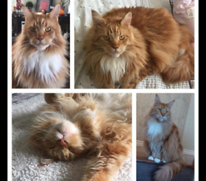 Chat main coon 7 ans a donner