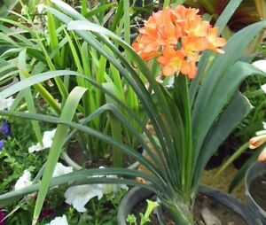 Plants - mature clivias with pups Bedford Bayswater Area Preview