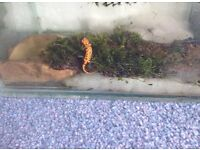 Chinese fire belly newt (Cynops orientalis) captive bred, terrestrial juveniles, for sale.