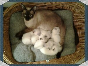 purebred sealpoint, chocolate and lilac siamese KITTENS