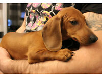 Adorable Pure Dachshund Puppy female & male